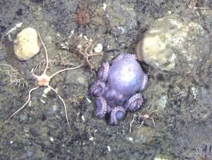 Antarctic octopus: Benthoctopus rigbyae