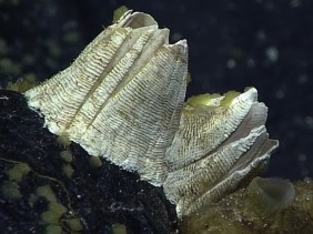 Deep-sea barnacle