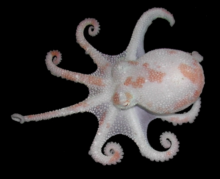 Antarctic octopus