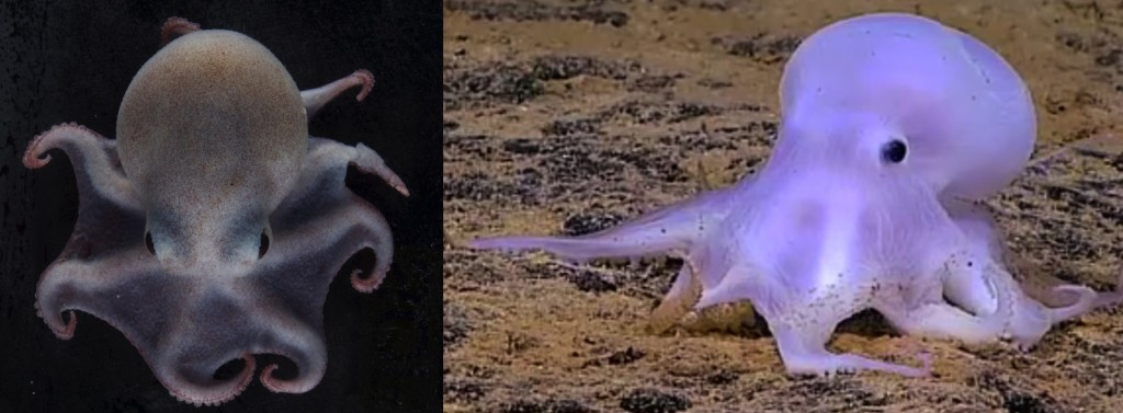Similarity between Antarctic and deep-sea octopuses